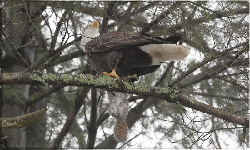 Bald Eagle with grey squirrel