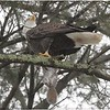 Bald Eagle with grey squirrel