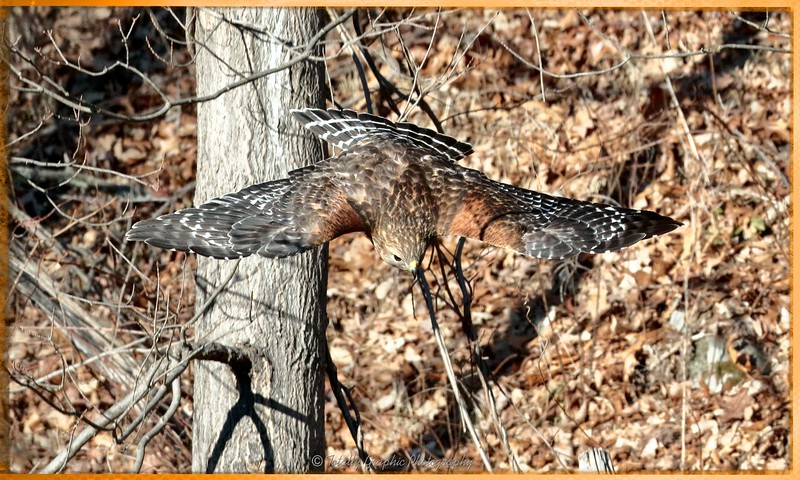 Red Shouldered Hawk coming in for breakfast!