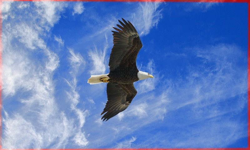 The American Bald Eagle in flight!