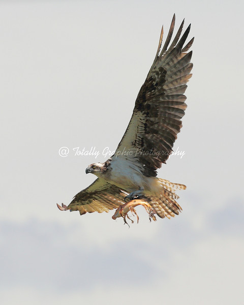 """Osprey or """"Fish Eagle"""" with Koi fish."""