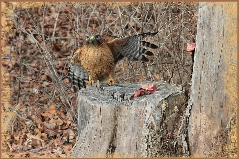 Oh...can I have that gizzard right there ...Oh,...can I,..can I,...pretty please, asked the Red Shouldered Hawk!