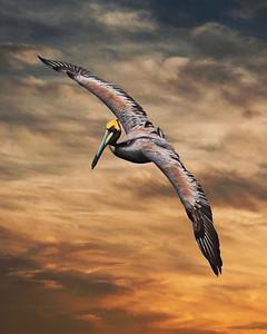 Pelican Evening