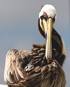 Pelican Over the shoulder