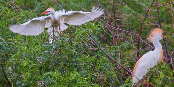 Breeding Cattle Egrets
