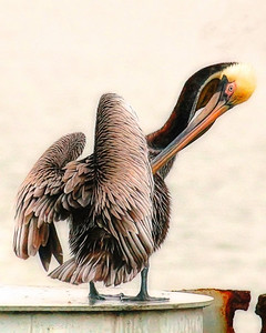 Wet Brown Pelican