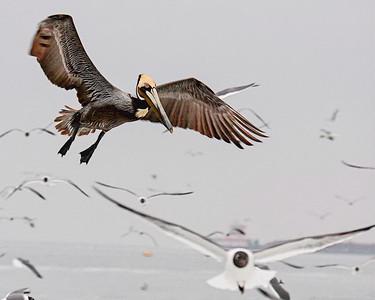 Dodging Gulls