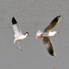 Avocet (Recurvirostra avosetta) and Slender-billed Gull (Larus genei)