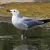 Audouin's Gull (Larus audouinii)