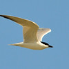 Gull-billed Tern (Sterna nilotica)