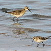 Dunlin (Calidris alpina) and Little Stint (Calidris minuta)