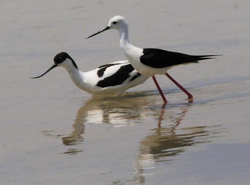 Avocet (Recurvirostra avosetta) and Black-winged Stilt (Himantopus himantopus)