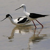Avocet (Recurvirostra avosetta) and Black-winged Stilt (Himantopus himantopus)