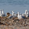 Slender-billed Gull  (Chroicocephalus genei)