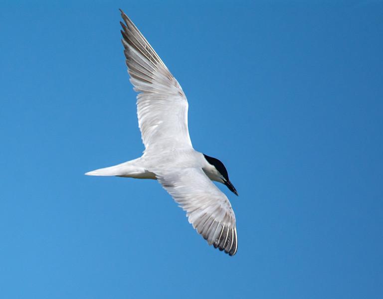 Gull-billed Tern (Sterna nilotica)