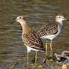 Pectoral Sandpiper and Wood Sandpiper