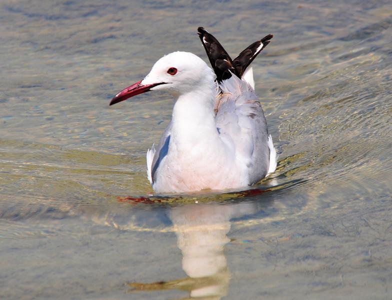 Slender-billed Gull  (Chroicocephalus genei)