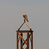 Black-shouldered Kite (Elanus caeruleus)