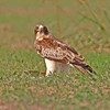Booted Eagle (Hieraaetus pennatus)