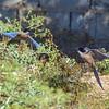 Azure-winged Magpie (Cyanopica cyanus)