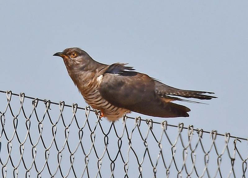 Cuckoo (Culculus canorus)