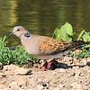 Turtle Dove (Streptopelia turtur)