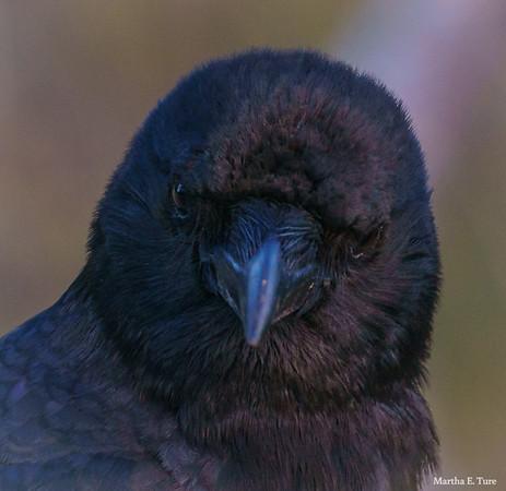 Male crow, portrait
