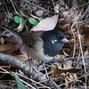 Dark-eyed junco with seed on his face