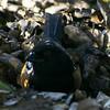 Spotted towhee in scrape