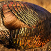 Wild Turkey Plumage