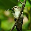 Anna's Hummingbird Wishing you long life and prosperity