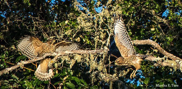 Cooper's Hawks Fighting