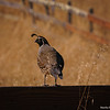 California Quail on a Rail
