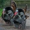 Wild Turkeys, Mt. Tamalpais State Park