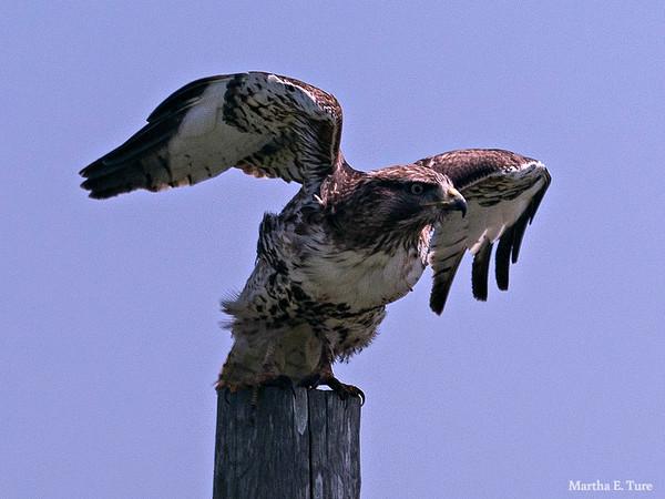 Ferruginous Hawk Beginning the Rouse