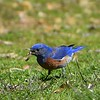 Western bluebird male with earthworm