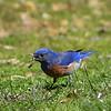Western bluebird male with earthworm