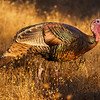 Male Wild Turkey, Meleagris gallopavo