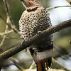 Red-shafted (Northern) flicker