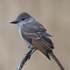 Juvenile Ash-throated Flycatcher