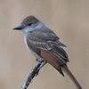 Juvenile Ash-throated Flycatcher