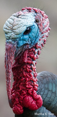 Male wild turkey head