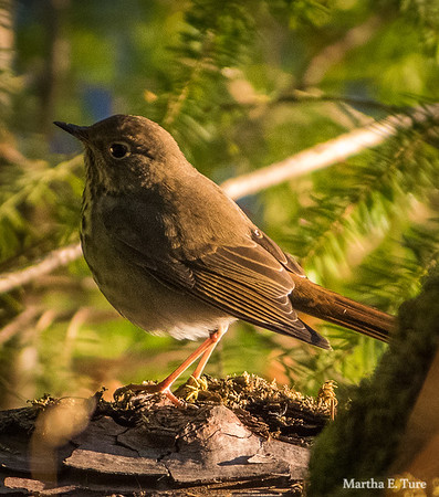 Hermit thrush, Mt. Tamalpais State Park