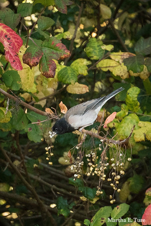 Dark-eyed junco in poison oak