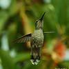 Female Anna's Hummingbird hovering
