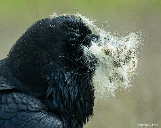 Raven with fur in her bill, preparing to line her nest