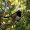Spotted towhee in poison oak
