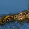 Mallard Hen and Ducklings 2