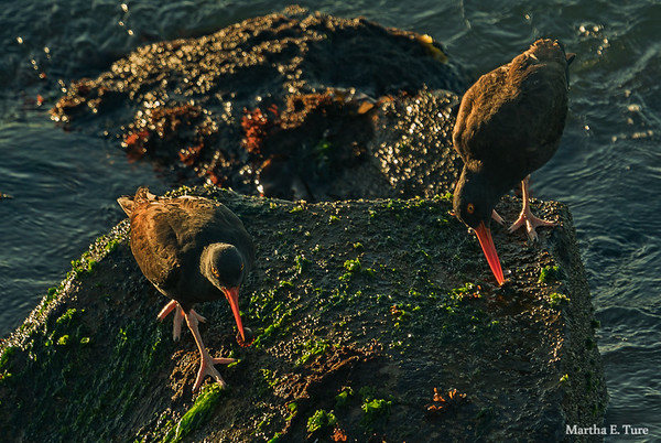 Mated Pair, Black Oystercatchers