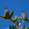 Western Bluebirds, Female and Male, Mt. Tamalpais State Park